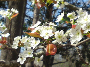 pear tree flowers best